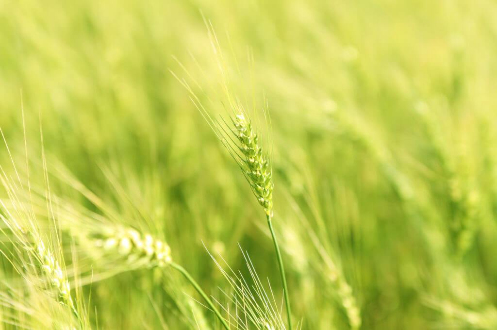 Вирощування зернових та олійних культур