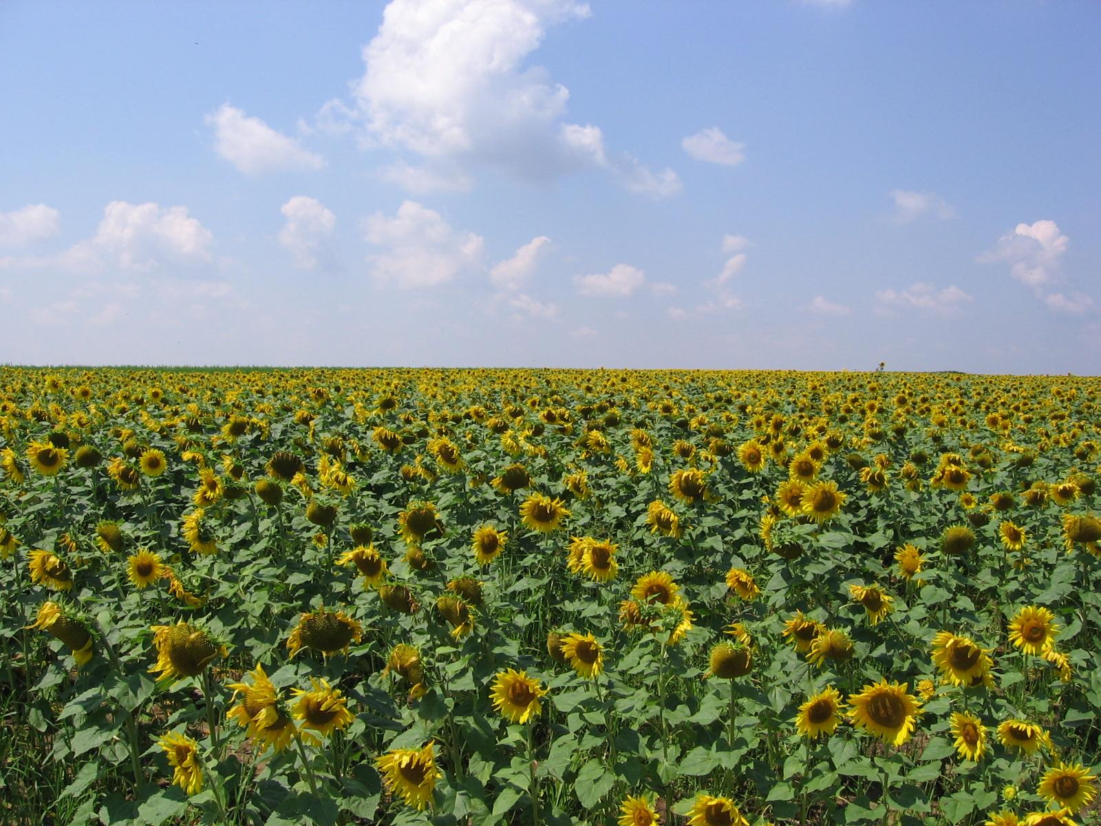 поле соняшник