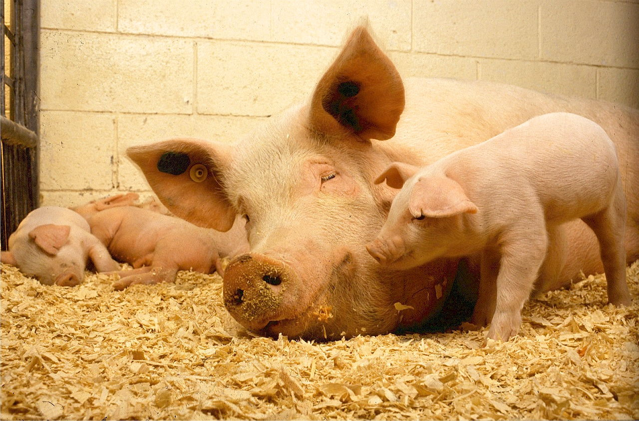 фото свиноматки